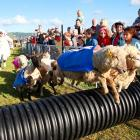 As the Rugby World Cup competion raged on the pitch, a shepherd with an obvious indentity crisis joined this field, which included Sonny Baa Wooliams, Ben Shanks, Mils Woolethyena and Baarad Smith. What we want to see are these baad boys going head to head with such titans of pig racing as Mia Ham and Arnold Schwarzenpigger.