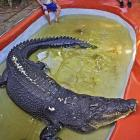 Cassius, who lives in the Marineland Melanisia in Australia, is almost six meters long and weighs nearly one metric ton.
