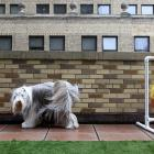 A Bearded Collie named Bean helpfully hosed down the Spot Suite at the Affinia Manhattan Hotel in New York City where 2,000 canines convened for the 136th annual poochfest.