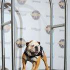 "Meanwhile, out in Tinseltown, Tillman the skateboarding woofer made a suitably dramatic entrance at the Century Plaza Hyatt Regency, which hosted the first annual celebration of ""Best Achievement in Acting"" by Hollywood's canine thespians."