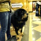 Major, a Tibetan Mastiff, gives a clerk the eye while waiting to check in at the Affinia Manhattan hotel.