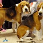 Twins? A couple of beagles chill out on the grooming table.
