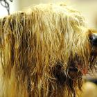 Rudee, a Briard, gets groomed in the staging area.