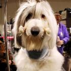 Tahoe, an Old English Sheep Dog, looks focused while in the grooming area.