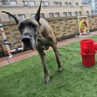 Jenna, a Great Dane from Japan, uses the outdoor facilities at the Spot Suite at the Affinia Manhattan Hotel.