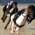Three pooches in hot pursuit of the mailman at Coral Brighton and Hove Stadium in Brighton, England.