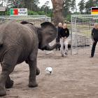 Welcome to  Did You See That? , the elephant in the room of ordinary photo galleries. We now proceed with a prognosticating pachyderm picking the outcome of a soccer match by taking two shots, this one at former German national goalkeeper Sepp Maier in Serengeti Park in Hodenhagen, the other at Portugal's net. Nelly's score on Portugal portended a victory for Germany. Take it to the bank and stash your winnings in a trunk.
