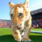An apparent escapee from the Alabama Gulf Coast Zoo dropped by to check out his (her?) favorite team -- the Tigers, naturally -- as they took on Arkansas. Alas, good kitty departed with his (her?) tail between his (her?) legs after a 24-7 defeat.