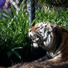 LSU's tiger mascot diagnosed with cancer
