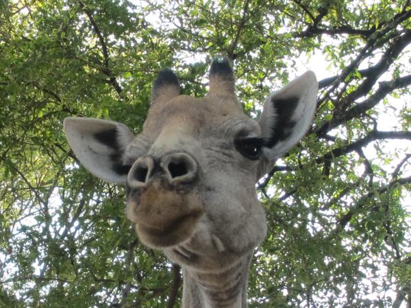 Giraffe  ::  MJ Day/SI