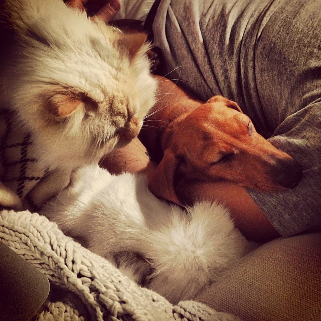 Cat and Dog #Persian #Dachshund @mateobrian