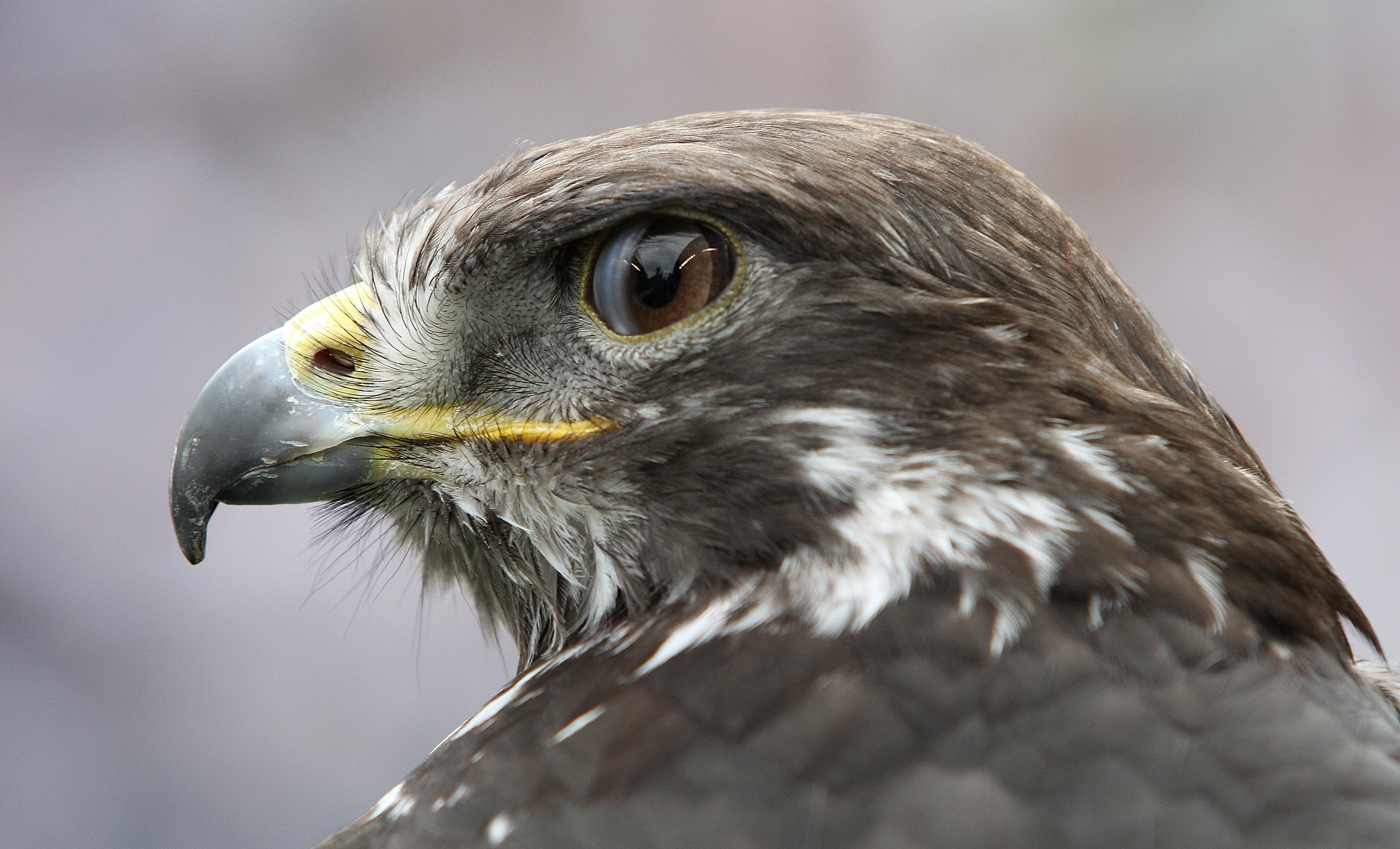 Seattle Seahawks bird mascot that flew into stands issues ...