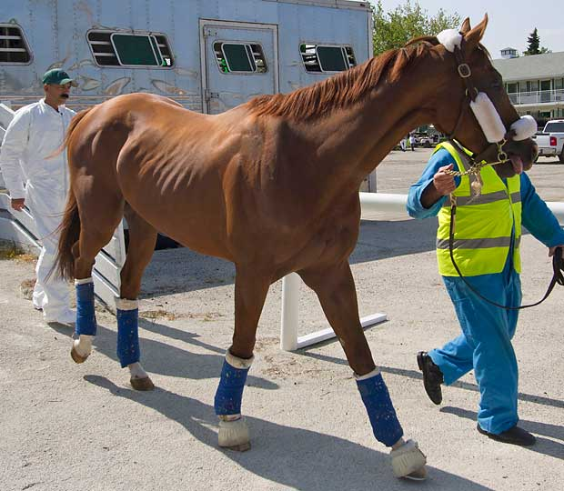 California Chrome looked alarmingly thin after his trip from England to Arlington Park on July 7.