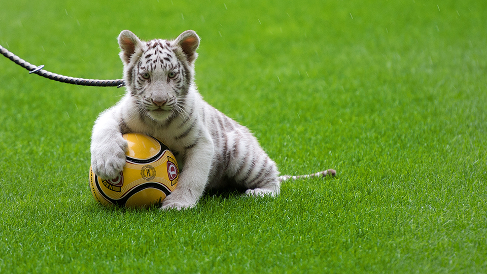 A tiger preparing for the 2022 World Cup.