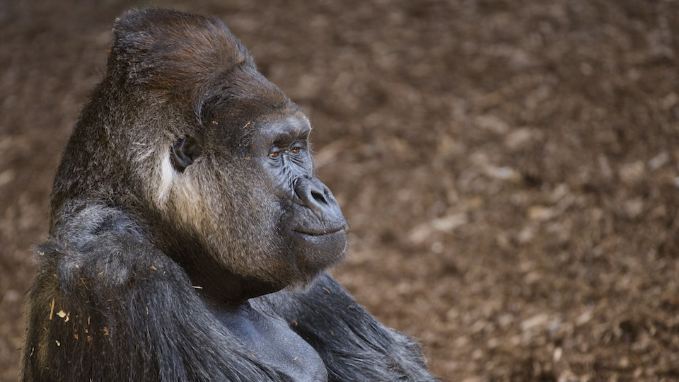 Charles, who has resided at the Toronto Zoo since it opened, continues to lead the lowland Gorilla group, but is facing a challenge from an 11 year old male Sadiki.