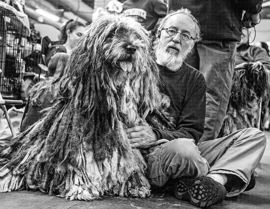 2017 Westminster Kennel Club Dog Show: Tinia, a Bergamasco, with Martin Siegman.