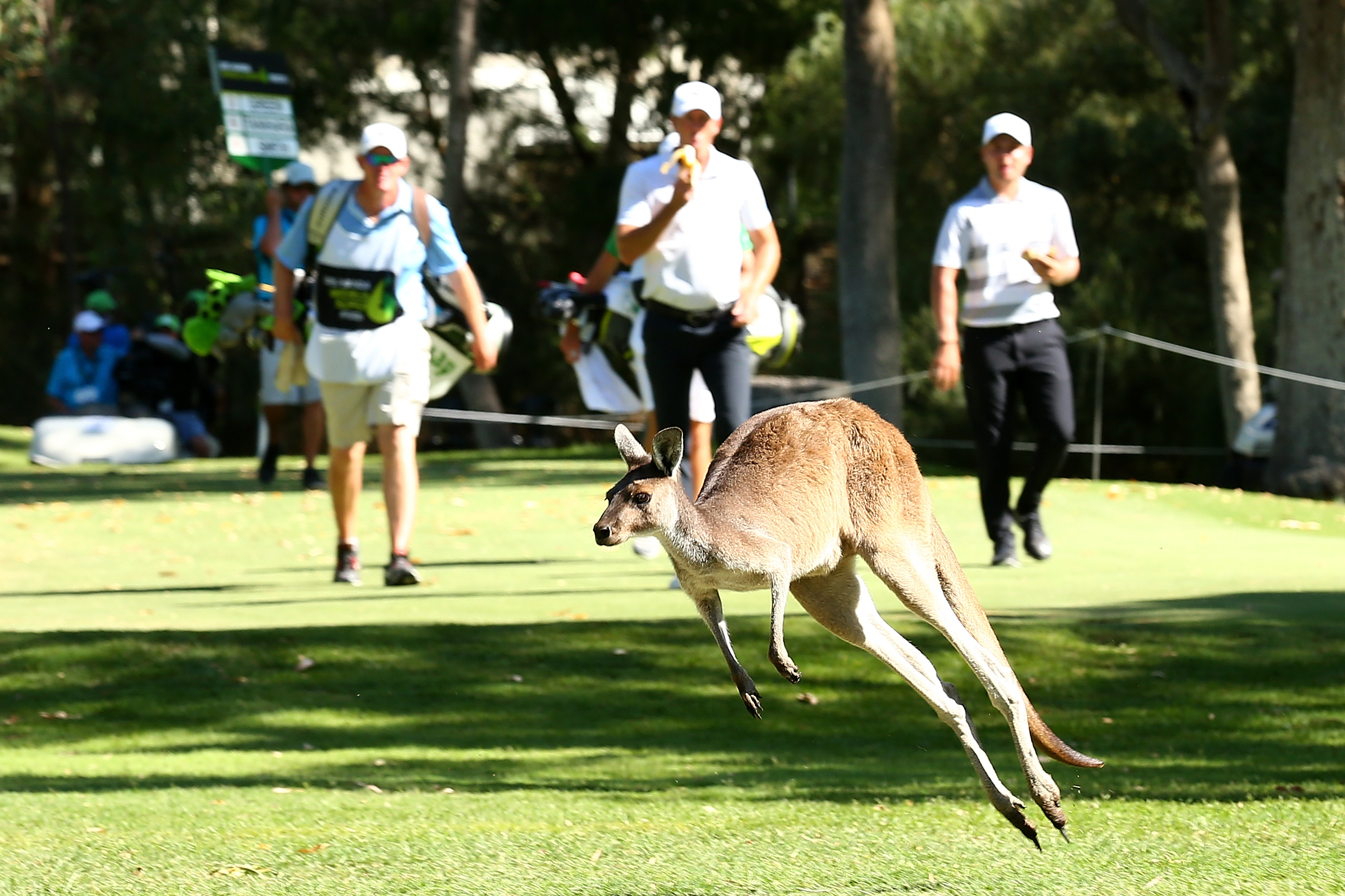 A kangaroo races golfers down the fairway at the World Super 6 in Perth.