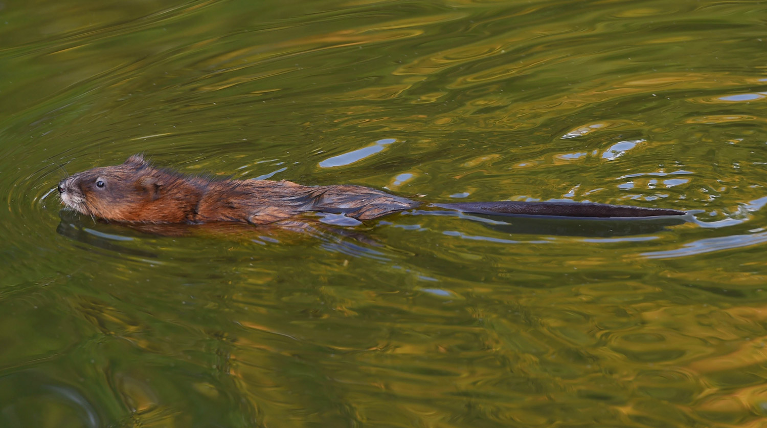 A beaver swims in the pond on the 12th hole during the first round of the 2015 Winco Foods Portland Open.