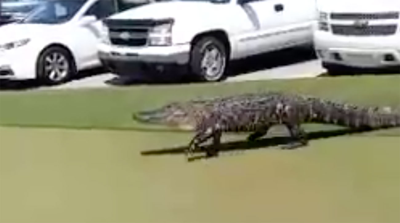 This massive gator strolled right through a North Carolina club parking lot and onto the practice green.