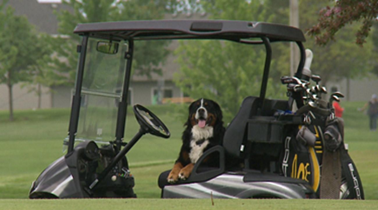 Davos the Bernese Mountain Dog enjoys retrieving his owner's wayward golf balls.