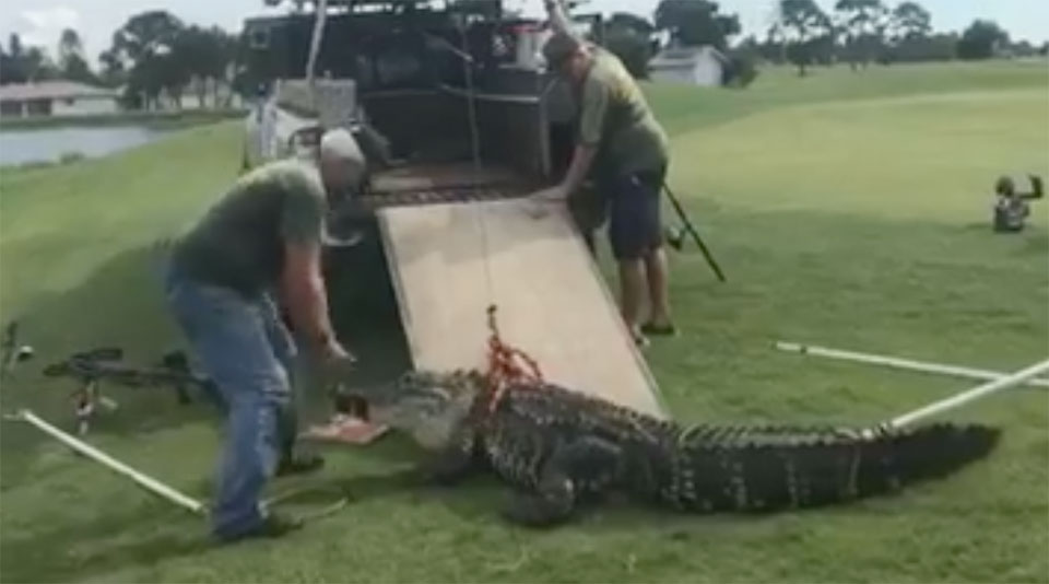 The gator in question was removed by the FWC.