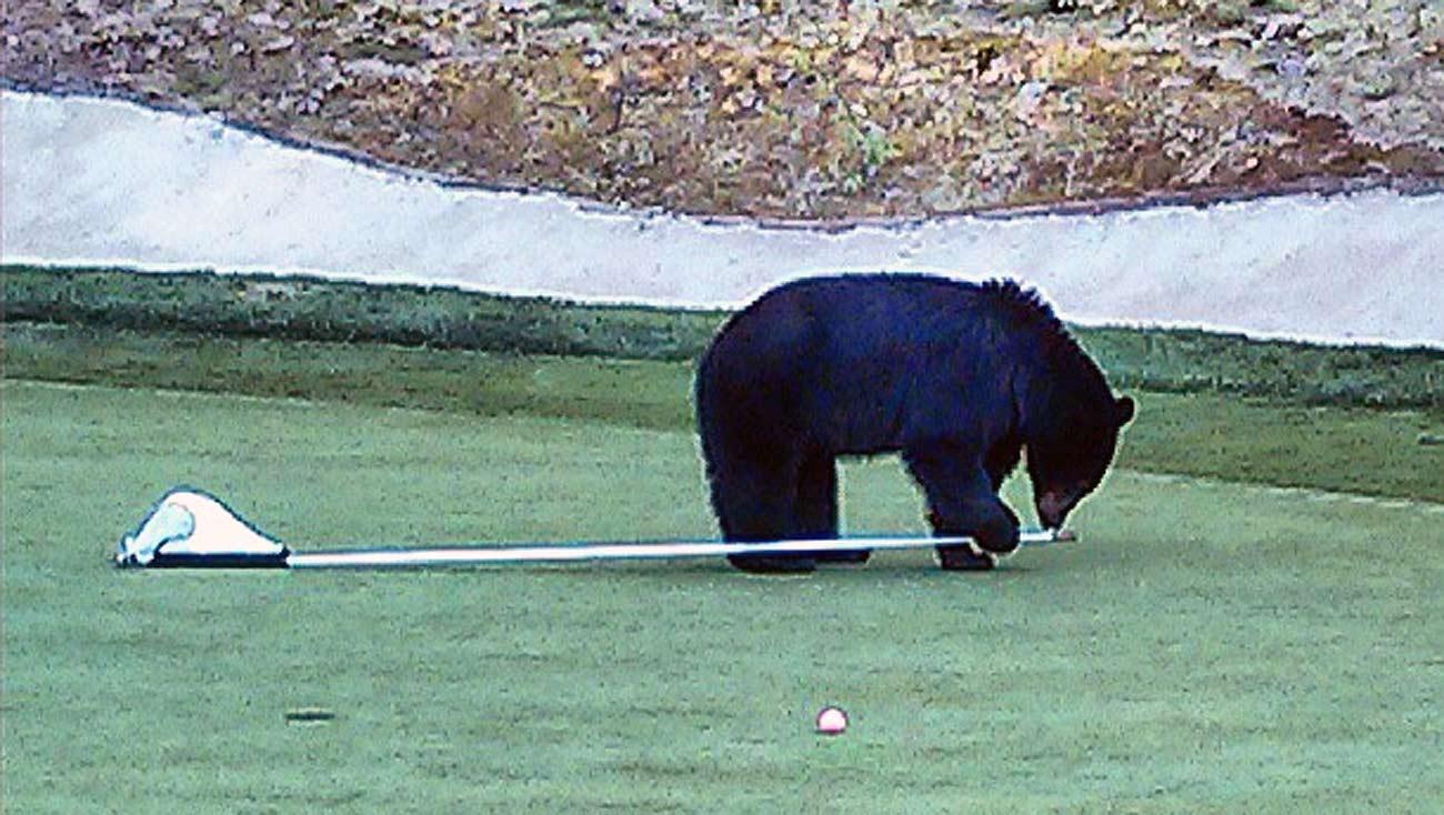 Bear on the golf course