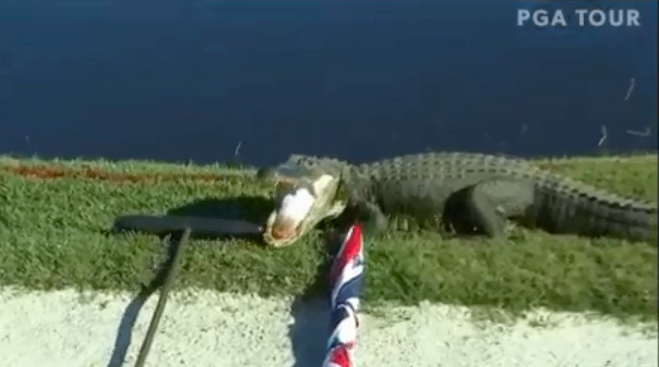 An alligator munches on a bunker rake at the Zurich Classic