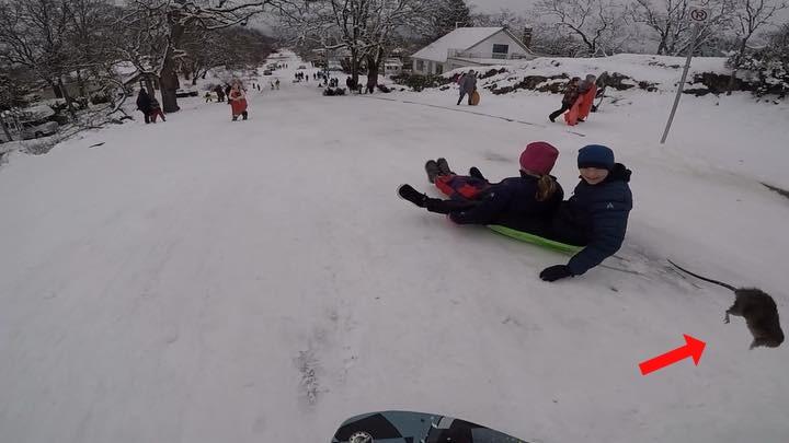 Video: Rat hits sled in Victoria, British Columbia