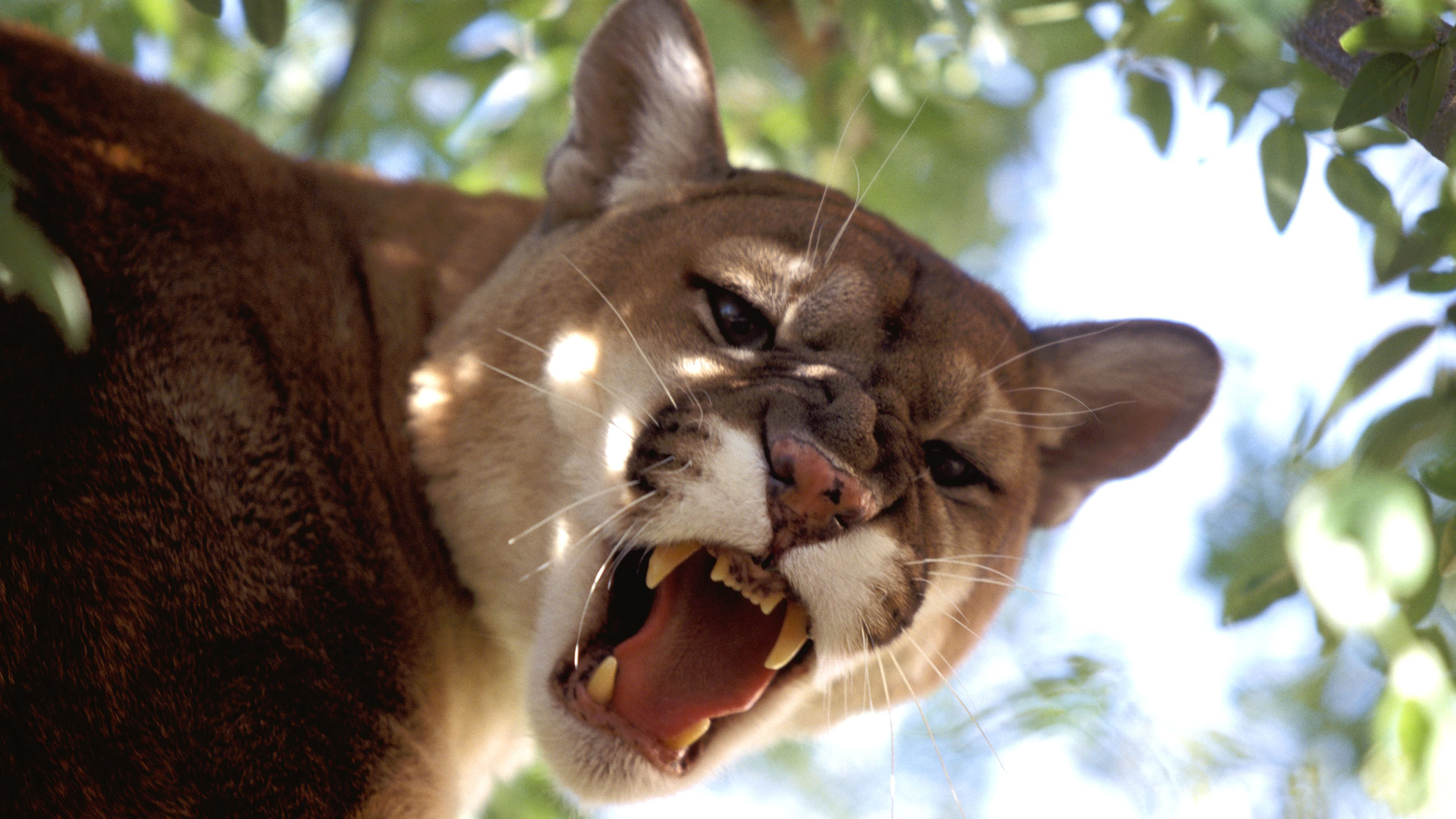 Boxer Tyrone Spong charged for Florida cougar escape