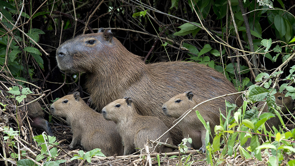 Capybaras frequent the Rio 2016 Olympic golf course.