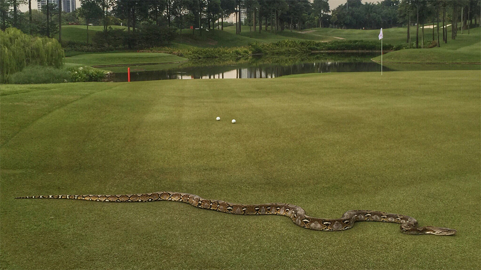 A six-foot python got itself a good seat to Round 2 action at the CIMB Classic.
