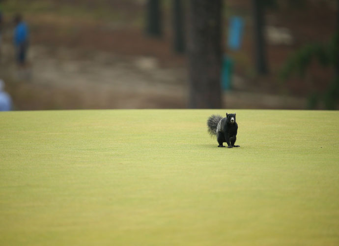 One of Pinehurst's legion of black squirrels scampers across a green.