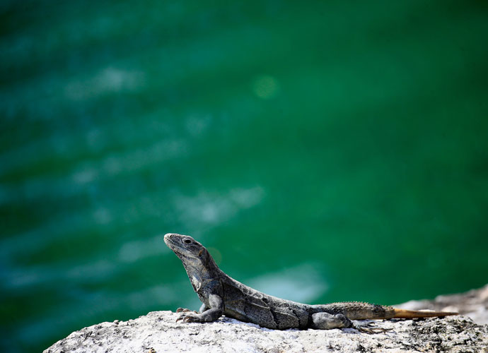 An iguana enjoyed the sun Friday at Playa Del Carmen, where the high was 81 degrees.
