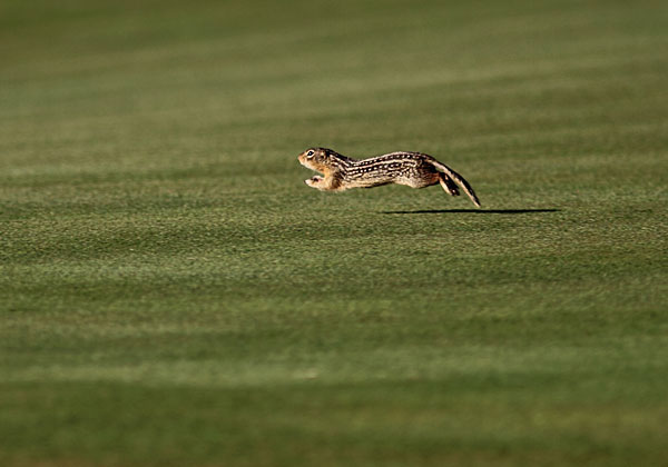 A chipmunk ran around the ninth green at the 2011 U.S. Amateur Championship at Erin Hills.