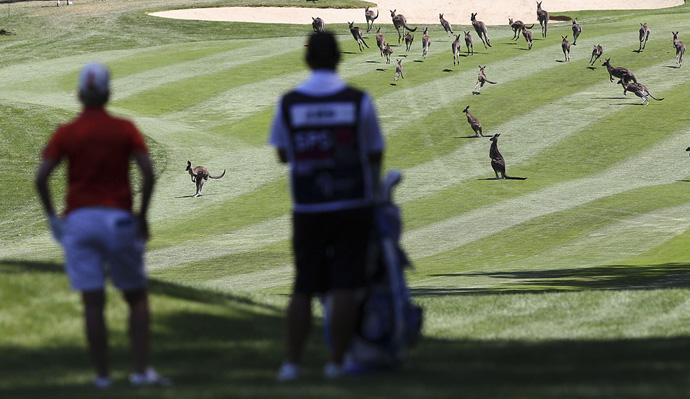 Karrie Webb had to wait for a herd of kangaroos to clear the fairway before playing a shot at the 2013 Women's Australian Open.