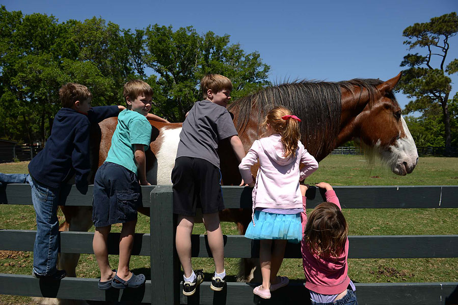 Lawton Stables is a very popular family spot, and no horse is more popular for the kids than Harley the Clydesdale, who came in 2008 and is of the Anheuser-Busch line of Clydesdales.  Harley is a gentle giant who loves carrots and being petted and photographed. The Lawtown Stables is a full service equestrian center, with horseback riding and pony rides for kids, horse boarding and training, as well as English and Western riding lessons.  This group of kids climbed up so they could get their photos taken alongside Harley. For more information visit lawtonstableshhi.com