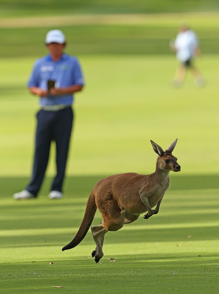 Jason Dufner waited to play his shot as a kangaroo hopped across the fairway at the Perth International.