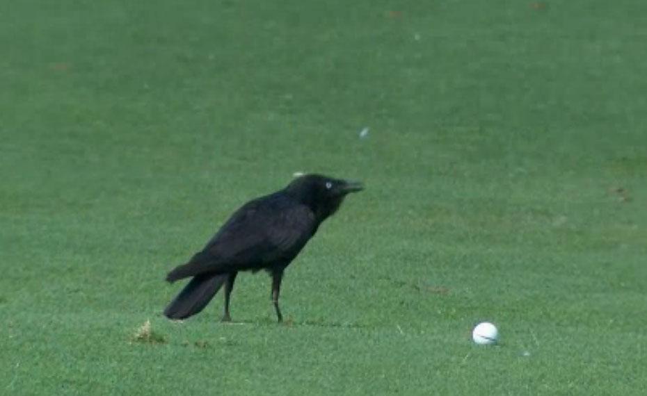 Bird steals golf ball at Australian PGA