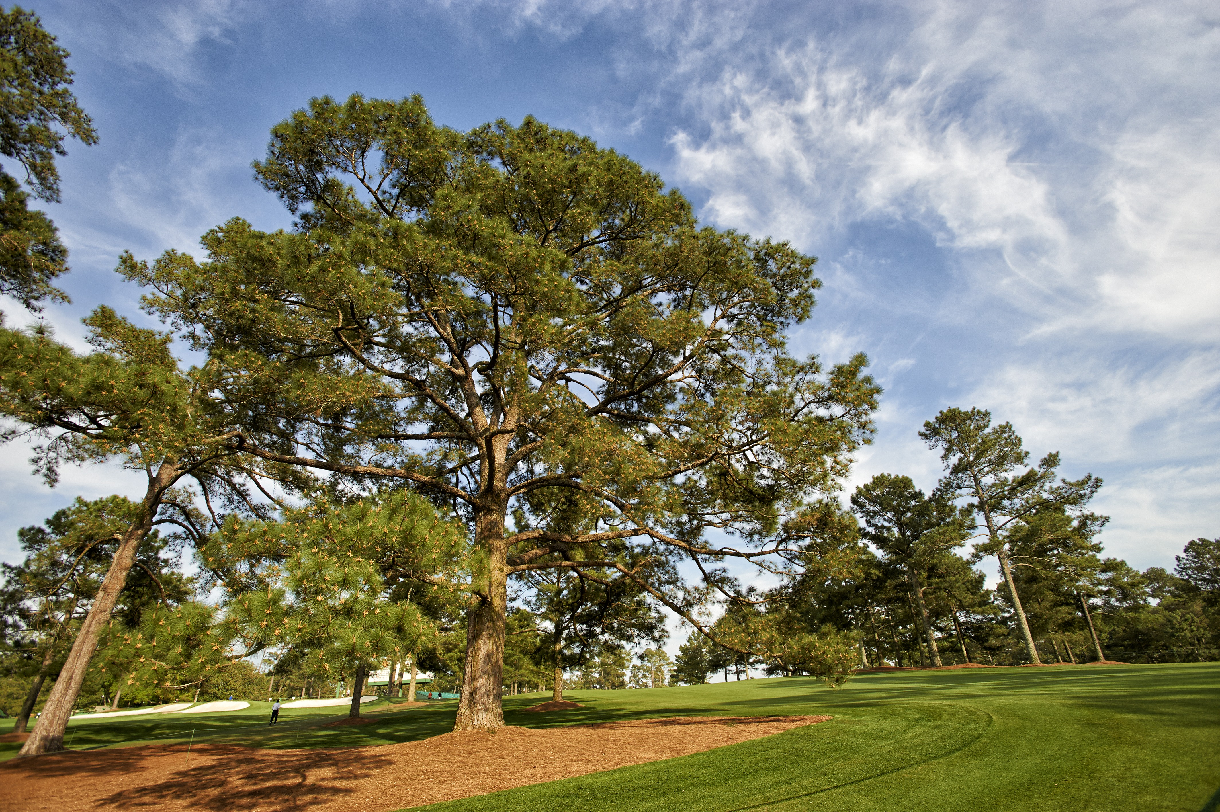 A view of the iconic Eisenhower Tree on Augusta National's 17th hole.
