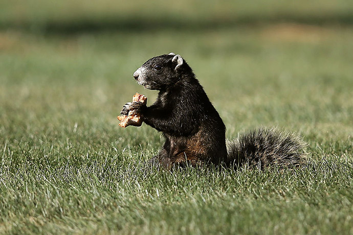 A fox squirrel eats on the course during the third round of the Valspar Championship at Innisbrook Resort Copperhead Course.