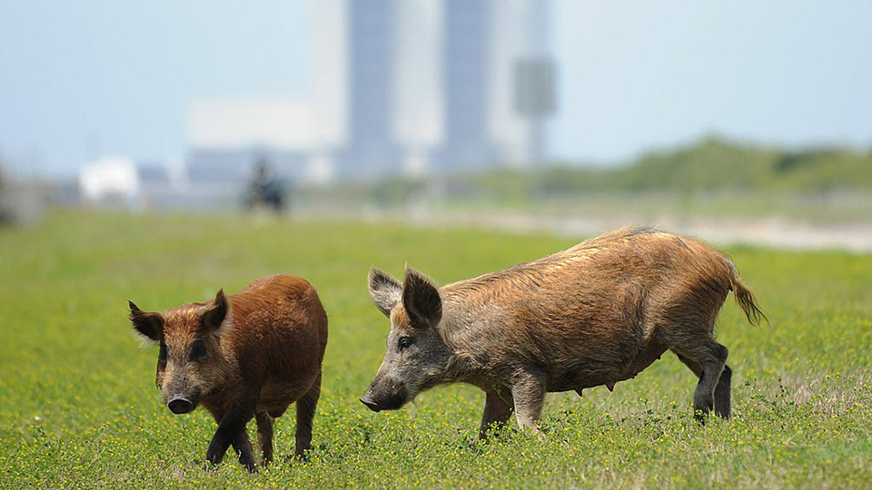 Wild pigs feeding in a meadow in Florida in 2010.