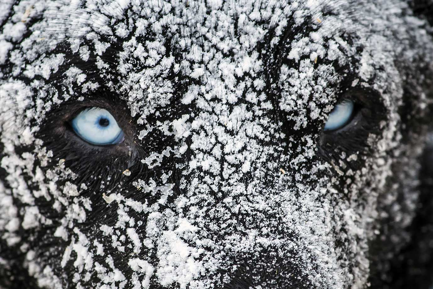 "A sledding dog is covered in ice after spending the night in the open air with his musher at the polar base of Val-Cenis as they ready for the next stage of the 12th edition of ""La Grande Odyssee"" sledding race across the Alps."