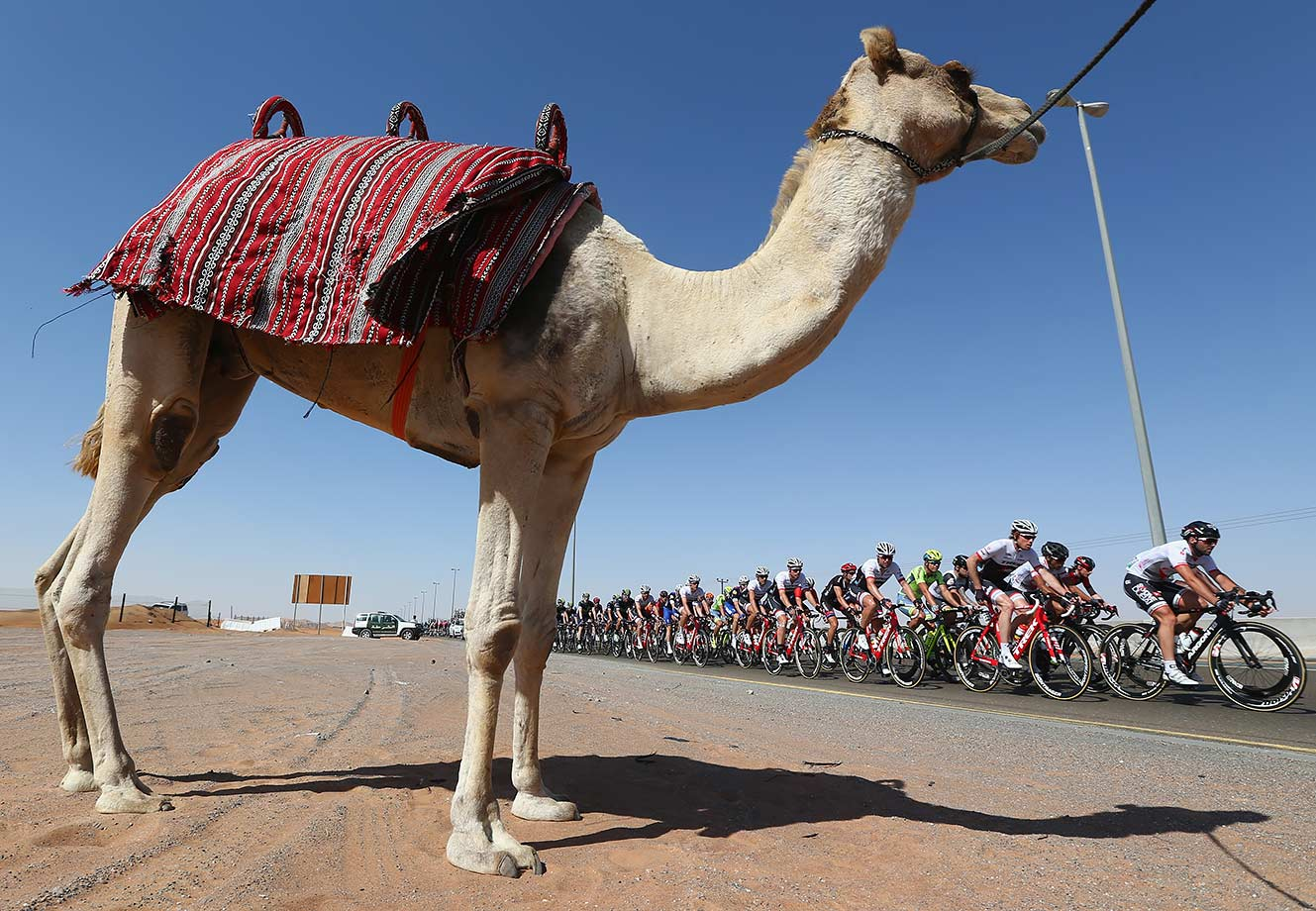 The peloton pass by a camel during the Westin Stage Three of the Tour of Dubai, United Arab Emirates.