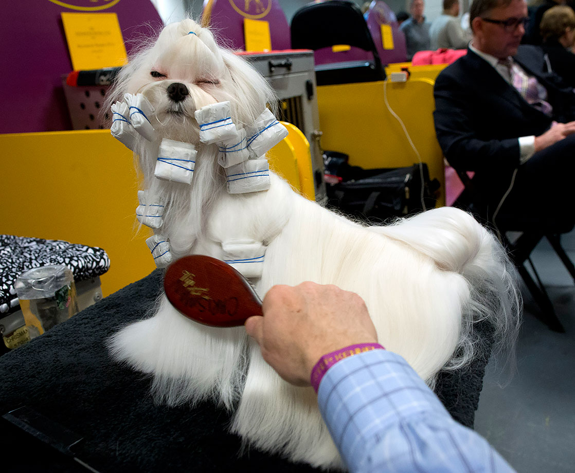 Yukos, a Maltese, is groomed in the benching area during the 140th Westminster Kennel Club dog show in New York City.