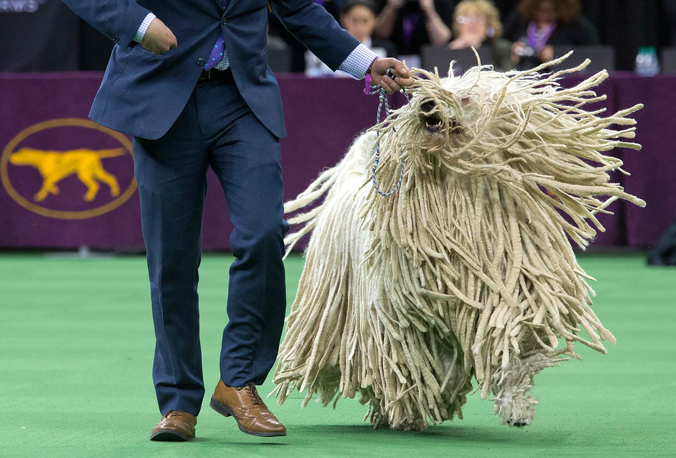A komondor is shown in the ring during the working group competition during the 140th Westminster Kennel Club dog show in New York City.