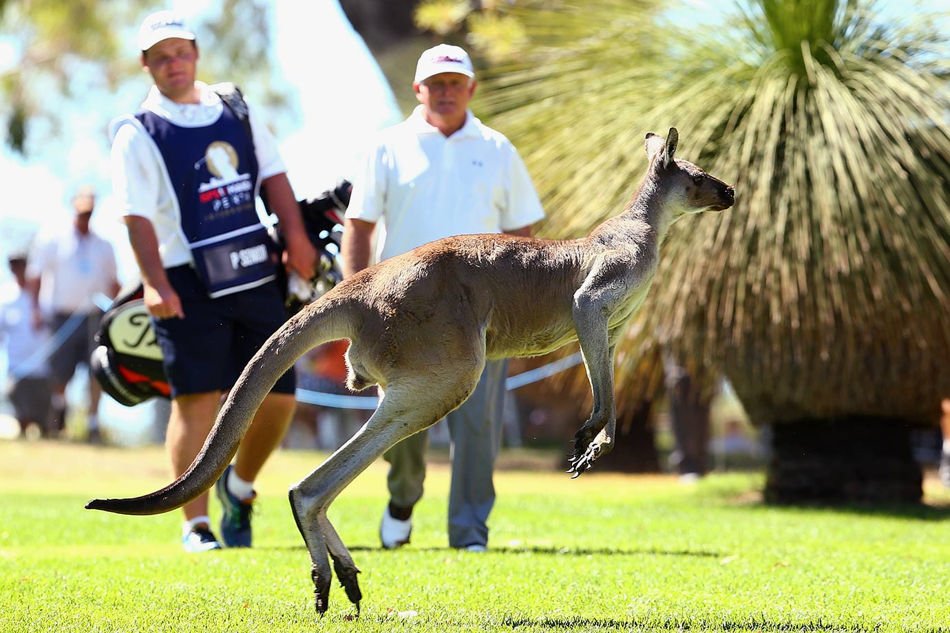 A large kangaroo jumps across the 10th fairway in front of Peter Senior during day two of the 2016 Perth International at Karrinyup GC in Perth, Australia.