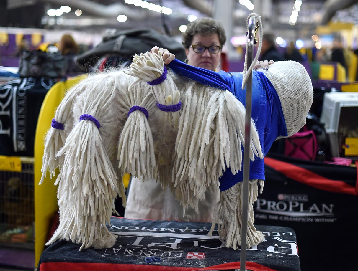A Komondorok is groomed on the second day of competition at the 139th Annual Westminster Kennel Club Dog Show.