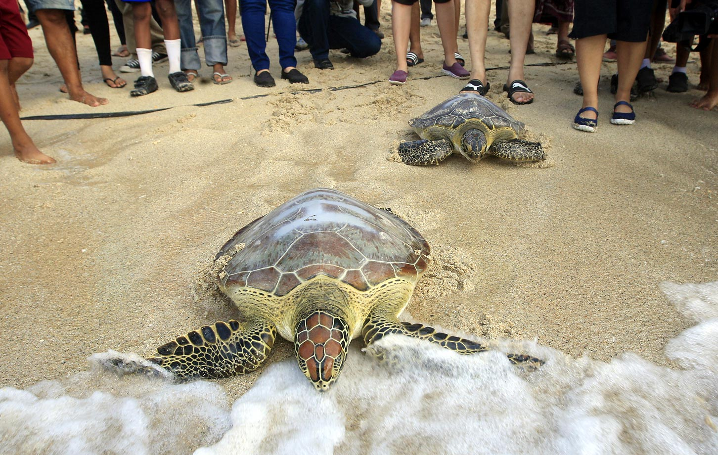 Turtles race into the ocean in Bali during a campaign to save sea turtles.