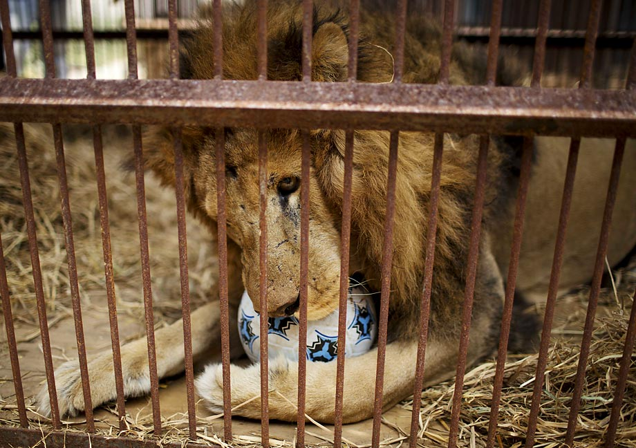 A former circus lion plays with a ball inside a cage at a temporary refuge in Lima, Peru. Animal Defenders International (ADI) and Peruvian authorities helped rescue 21 lions in Peru from various traveling circuses. Once other rescued felines are brought to Peru from Colombia and Argentina, a total of 44 felines will be taken to the Wild Animal Sanctuary in Denver at the beginning of 2015. In Peru, it's illegal to use wild animals in a circus.