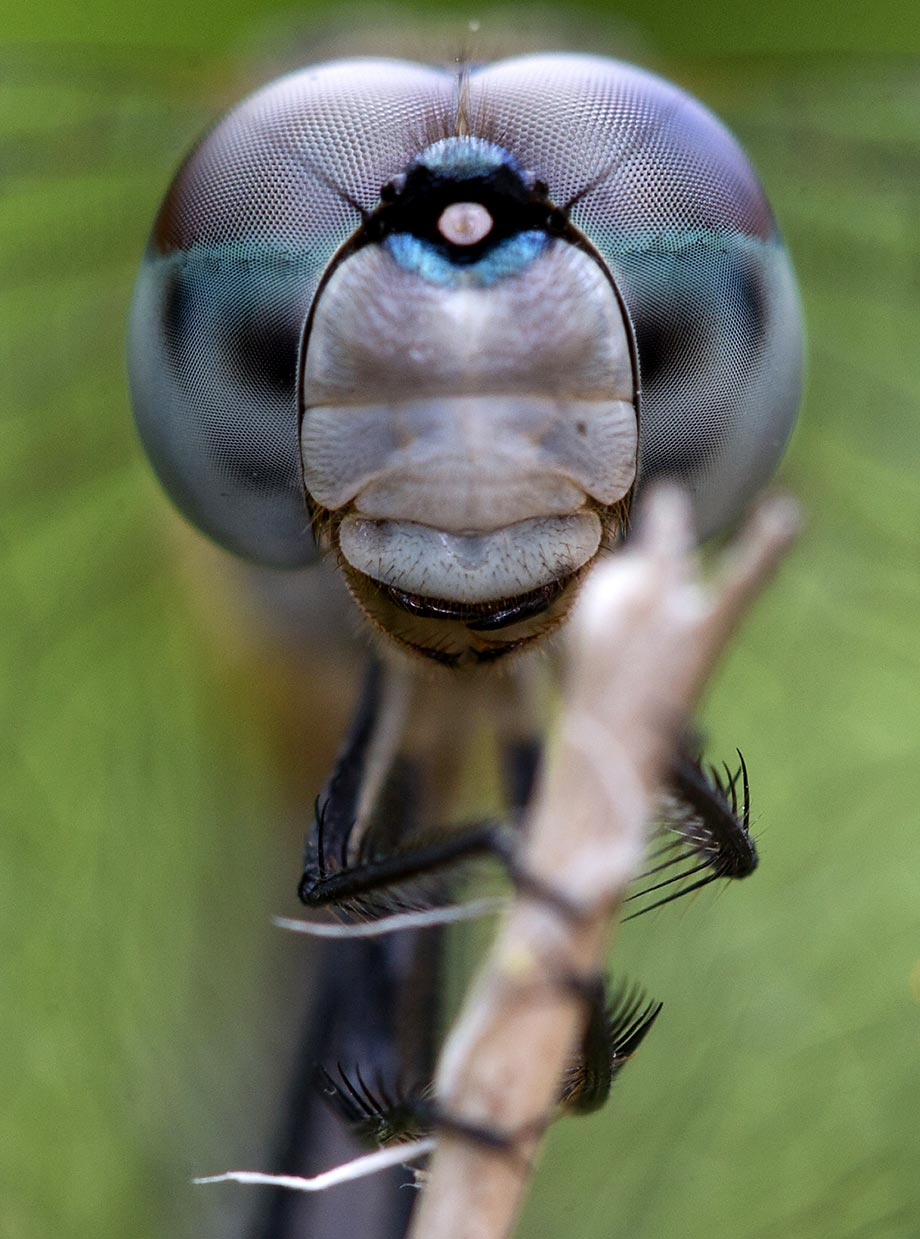 A dragonfly clings to a branch in Florida. Its compound eyes are made up of thousands of facets which allow it to see behind itself.